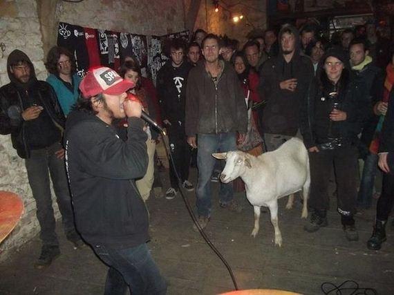 Goat at a concert