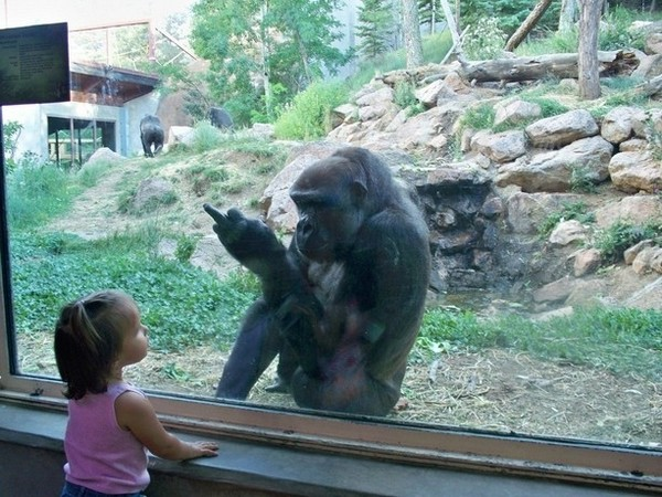 Gorilla flips off a kid