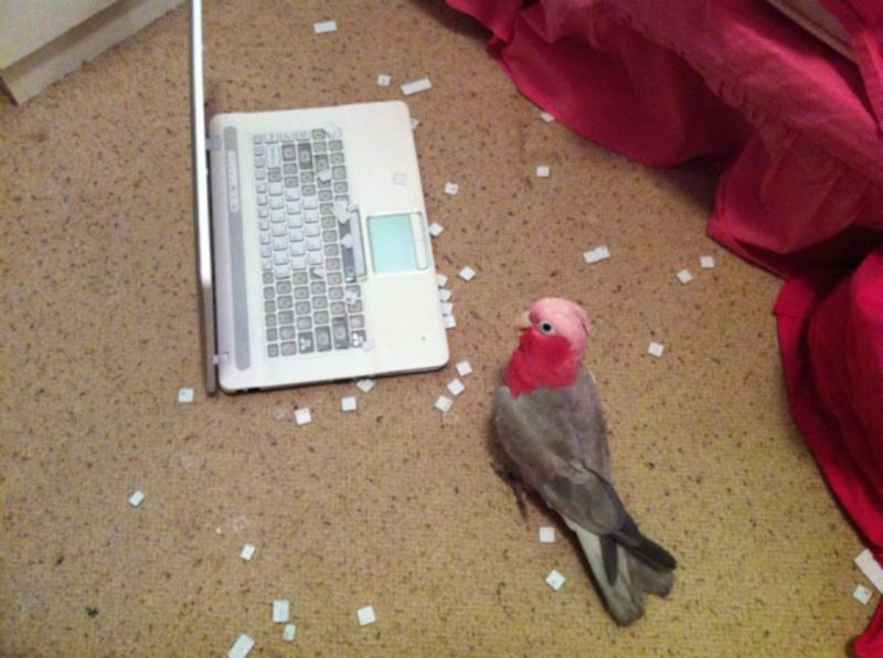 Bird appears to have pecked away most of the keys on a laptop.