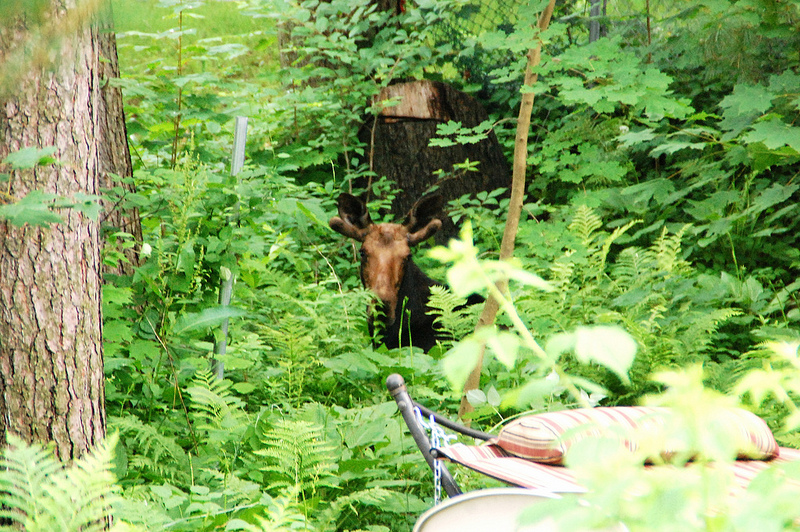 The moose sat down for maybe five minutes in the corner of our yard.
