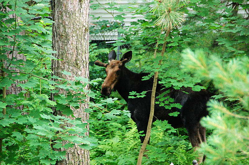 This moose was the size of our car - and he's probably not full grown yet. He spent at least 10-15 minutes in our yard, ran off, then came back for another visit later in the morning.