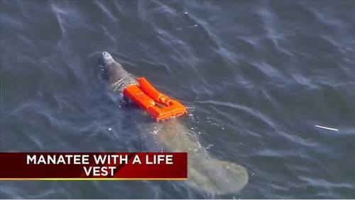 Manatee With A Life Vest