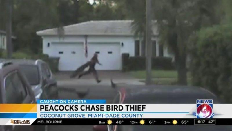 Peacocks Chase Bird Thief