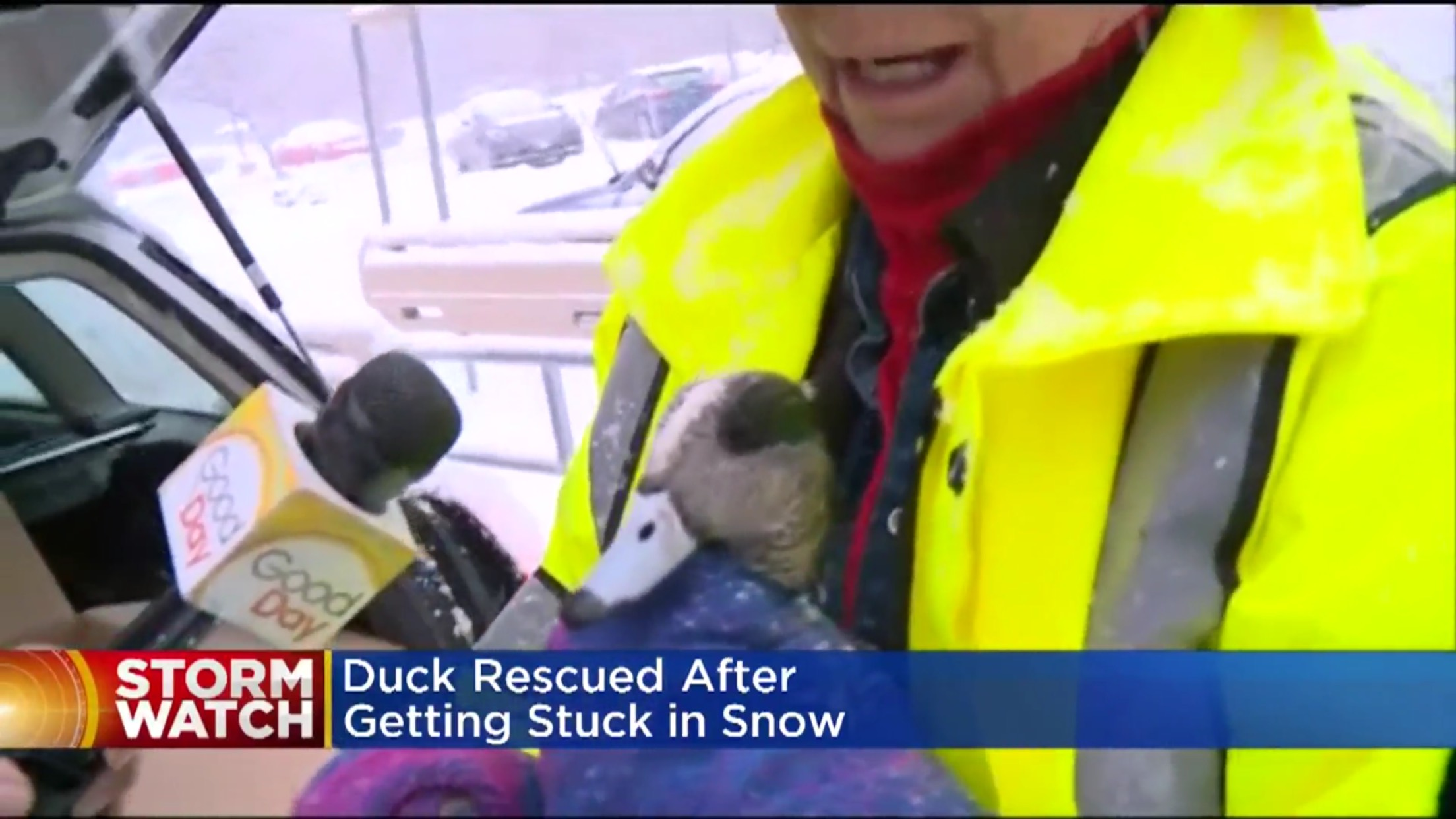 Duck Rescued After Getting Stuck in Snow