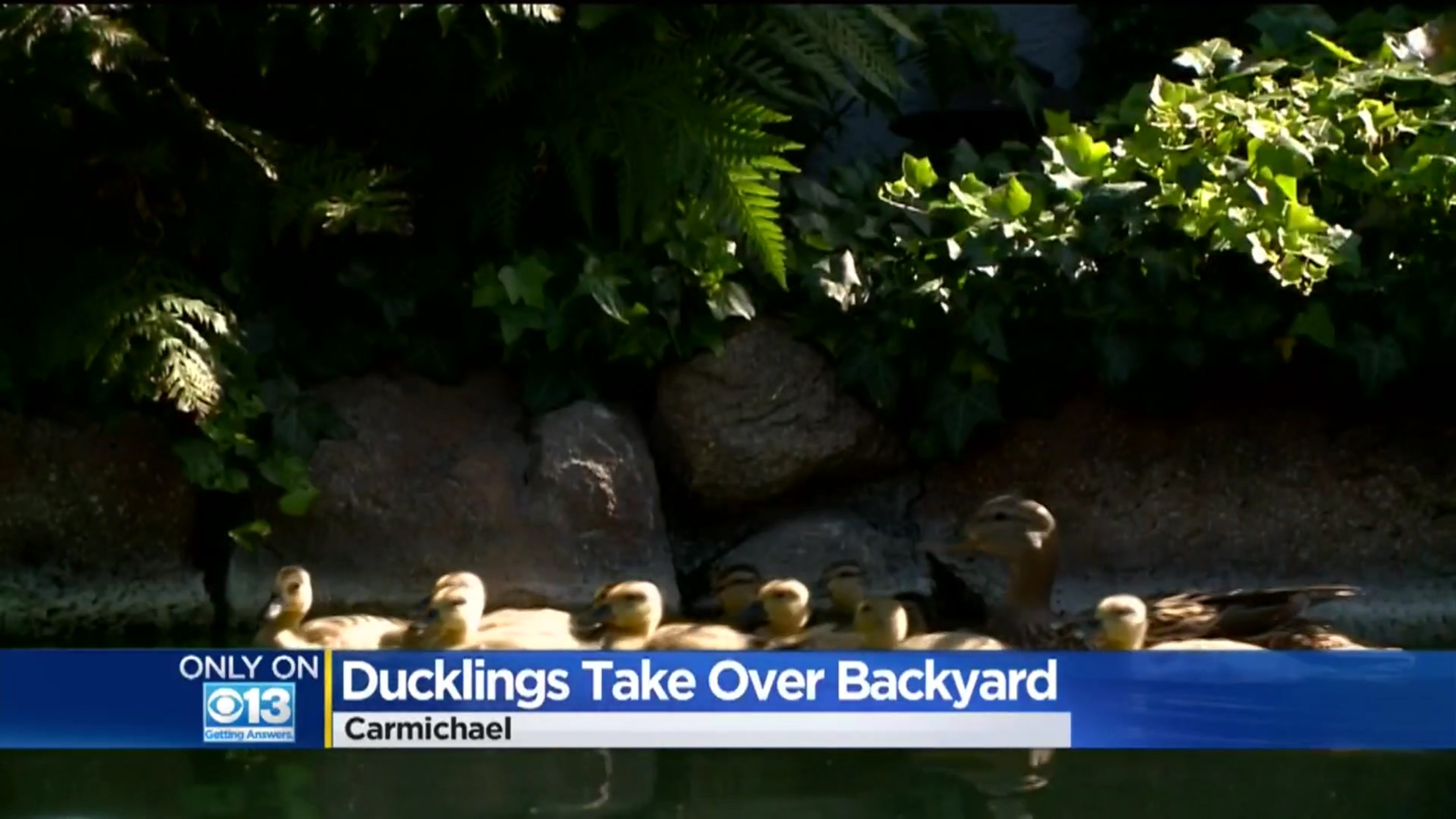 Ducklings Take Over Backyard