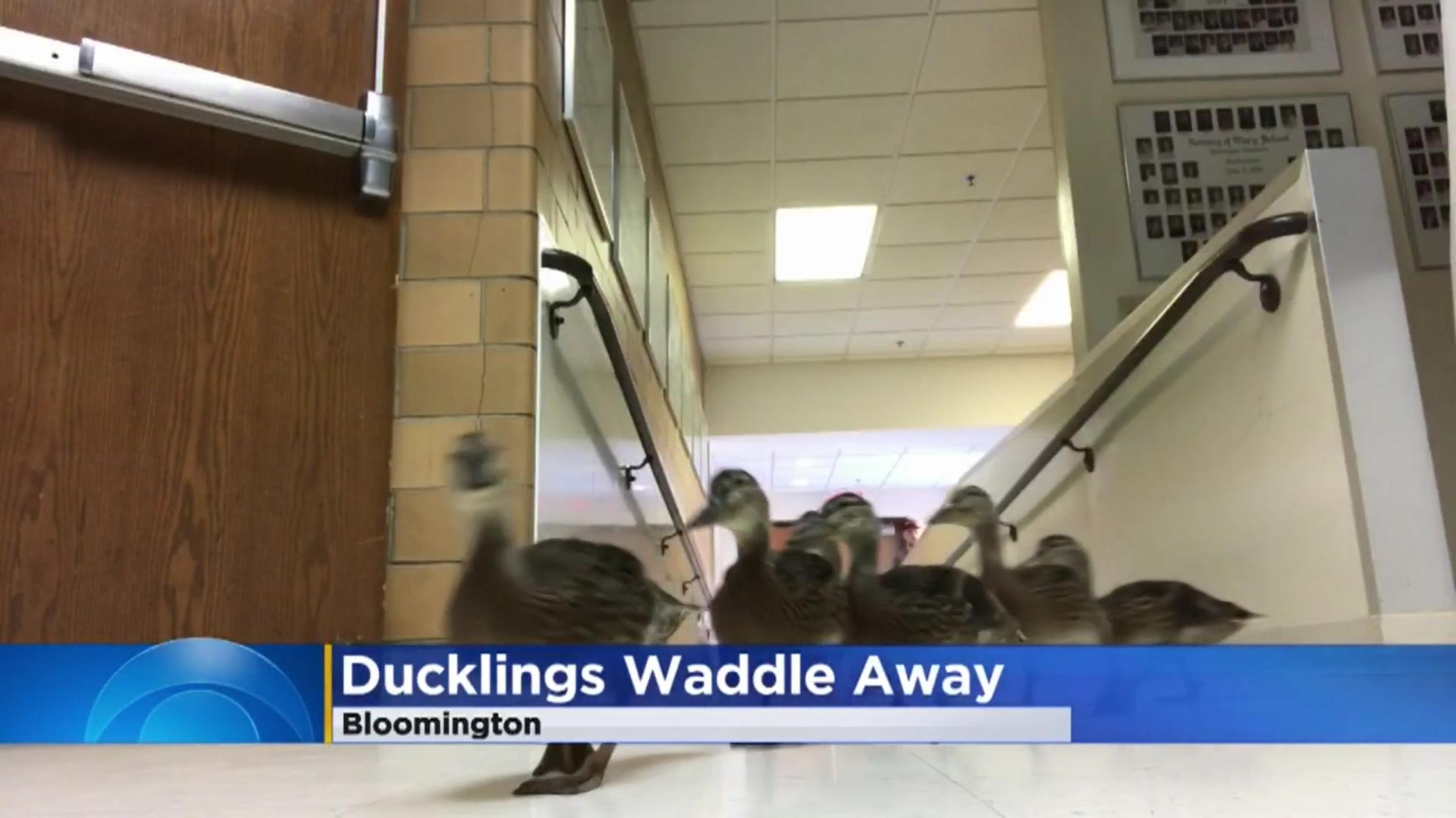 Ducklings Waddle Away
