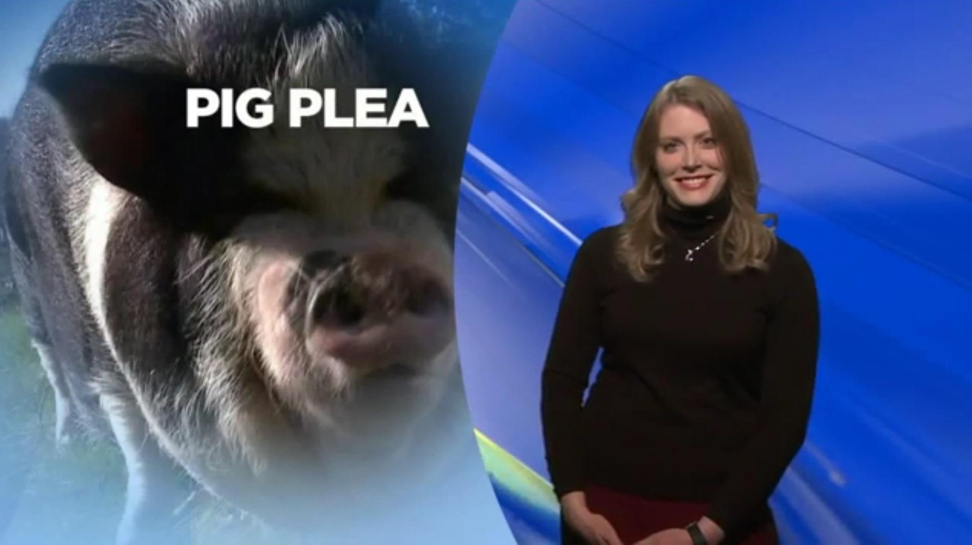 Pig Plea
