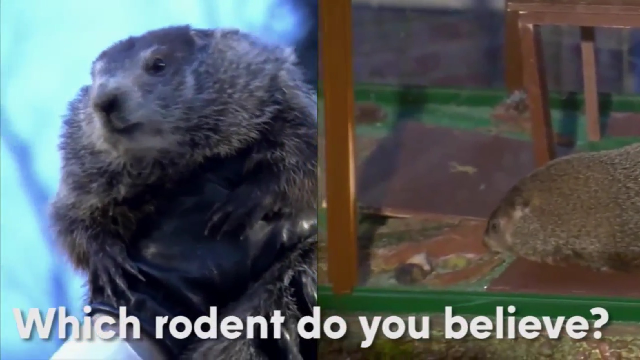 "Picture of two groundhogs, with a chyron of ""Which rodent do you believe?"""