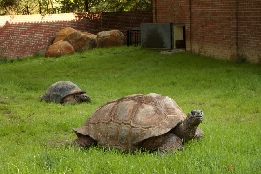 Aldabra tortoise at Smithsonian's National Zoo & Conservation Biology Institute (photo via Smithsonian Institution)