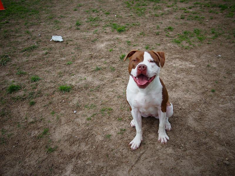 An adorable dog named Moxie (photo by bullcitydogs via Flickr/Creative Commons https://flic.kr/p/nib463)