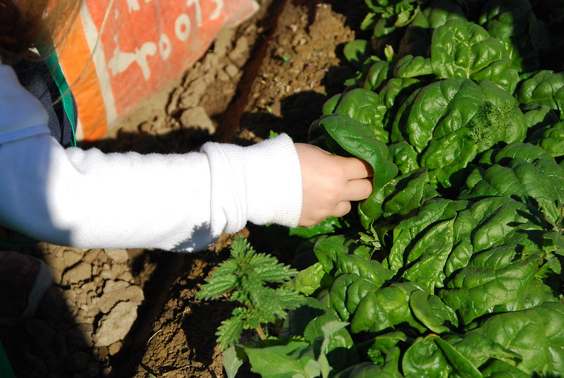 spinach (photo by Suzie's Farm via Flickr/CC)