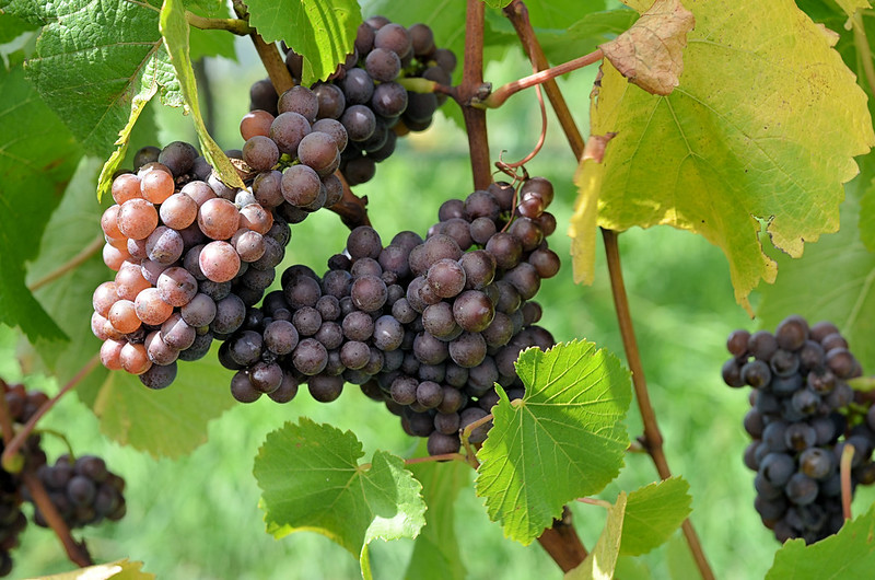 Grapes (photo by Stefano Lubiana via Flickr/Creative Commons https://flic.kr/p/bsoas7)