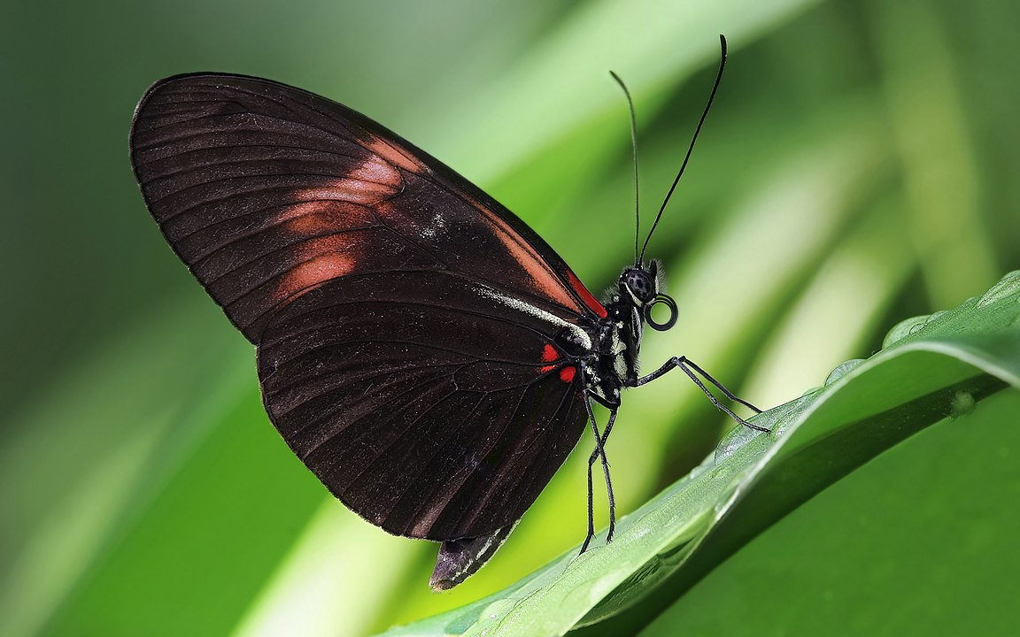 Heliconius melpomene butterfly (photo by Richard Bartz, Munich aka Makro Freak - Own work, CC BY-SA 2.5, https://commons.wikimedia.org/w/index.php?curid=3526357)