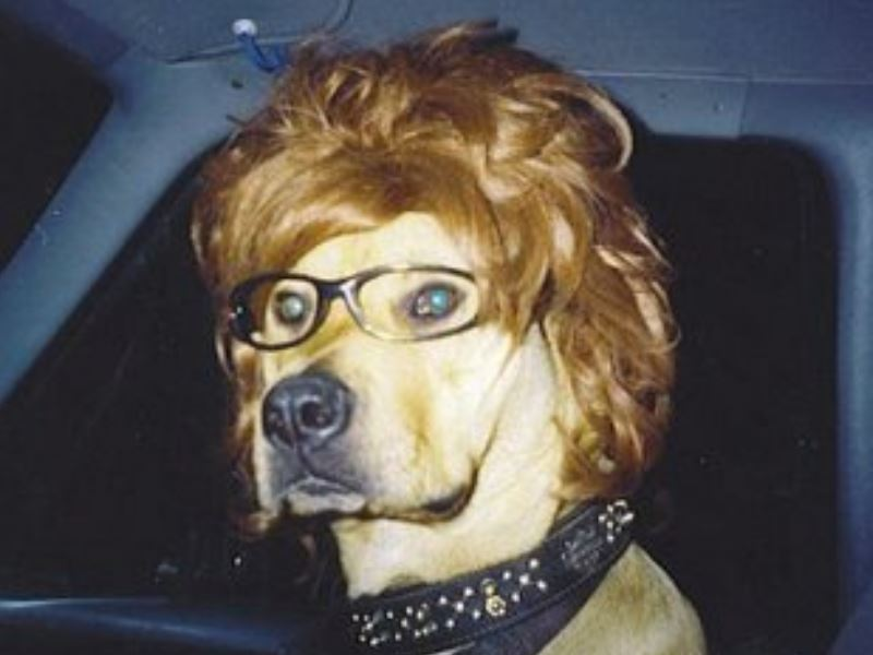 A dog wearing a wig, glasses and a punk rock collar