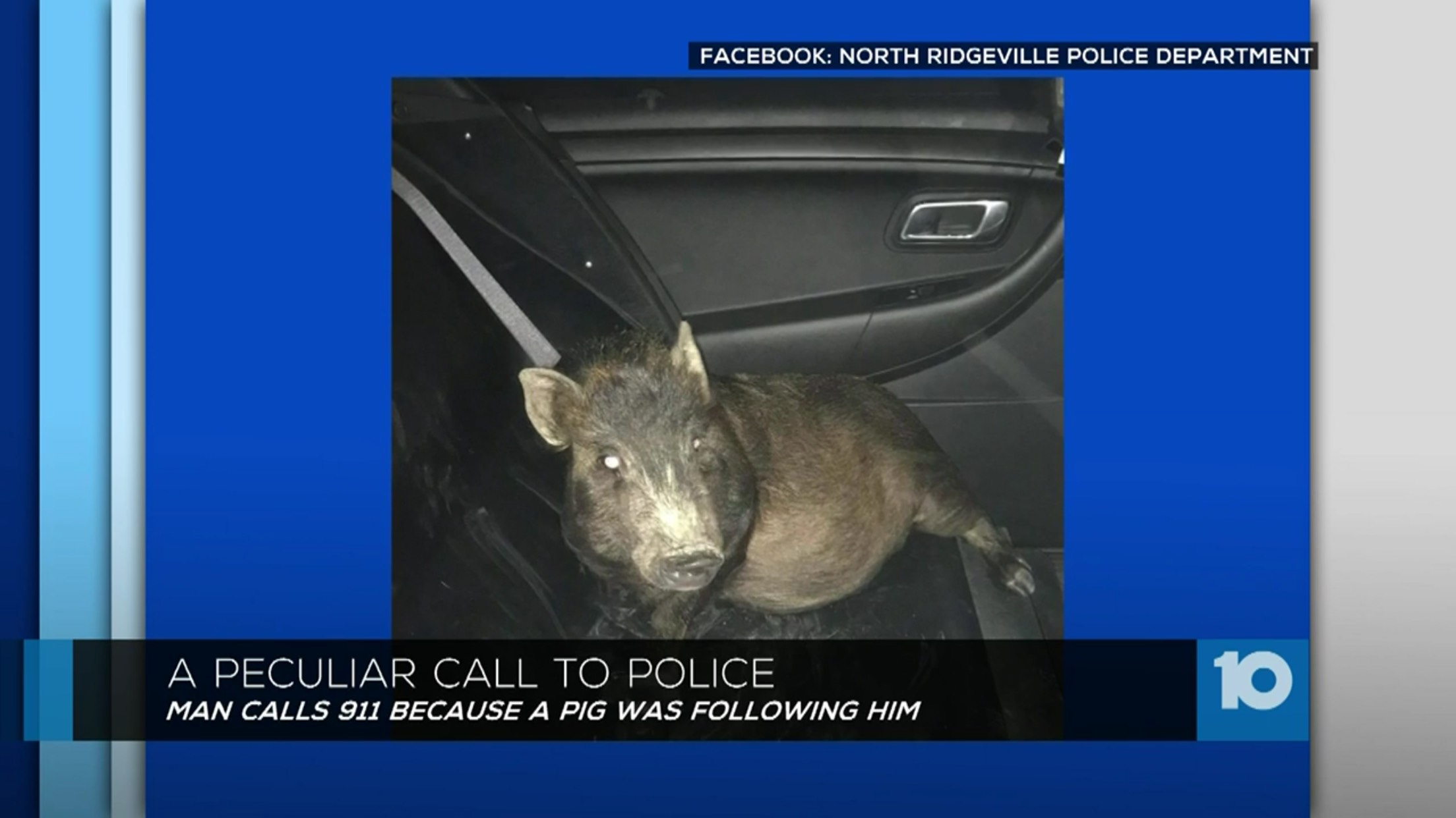A Peculiar Call To Police: Man Calls 911 Because A Pig Was Following Him