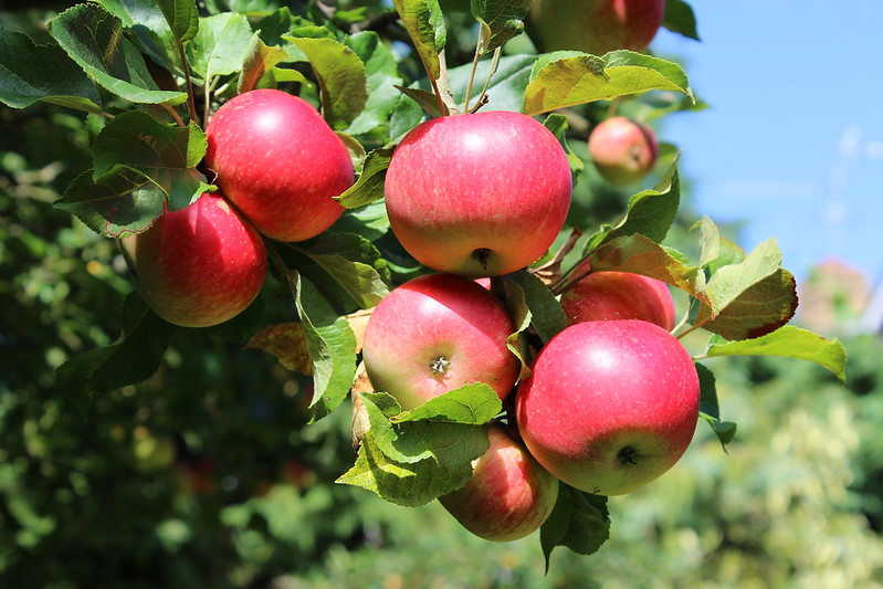 Apples attached to a tree branch. (Photo by DataHamster via Flickr/Creative Commons https://flic.kr/p/cTVuH5)