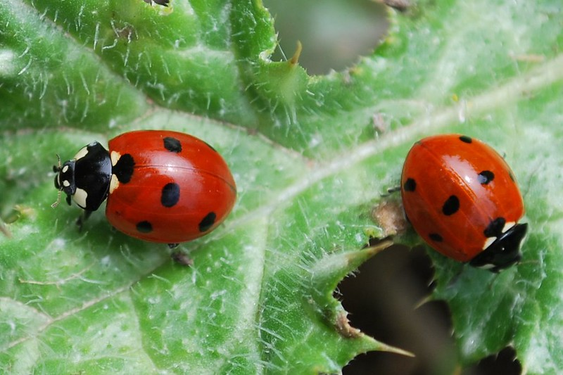 Two ladybugs on a green leaf. (Photo by rumolay via Flickr/Creative Commons https://flic.kr/p/9uWENy)