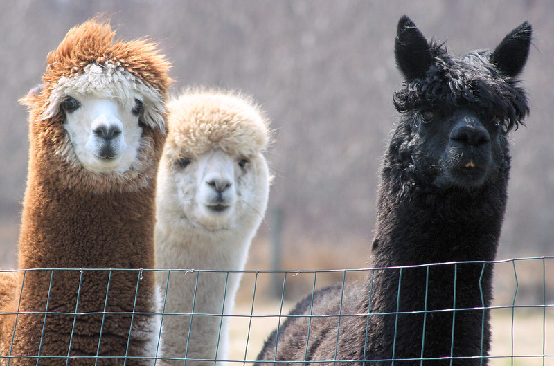 Alpacas (photo by Diane Hamilton via Flickr/Creative Commons https://flic.kr/p/GhK6x)