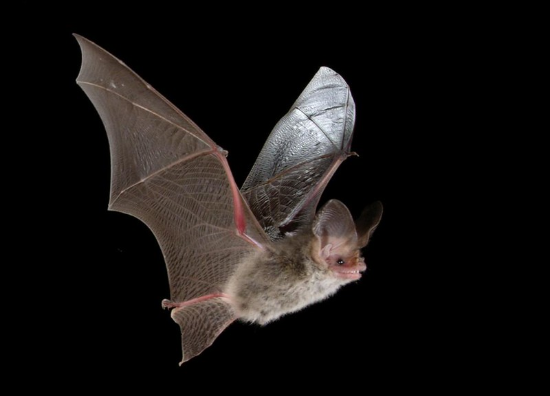 A Nyctophilus geoffroyi bat in flight. (Photo by Michael Pennay via Flickr/Creative Commons https://flic.kr/p/6i8Rej)