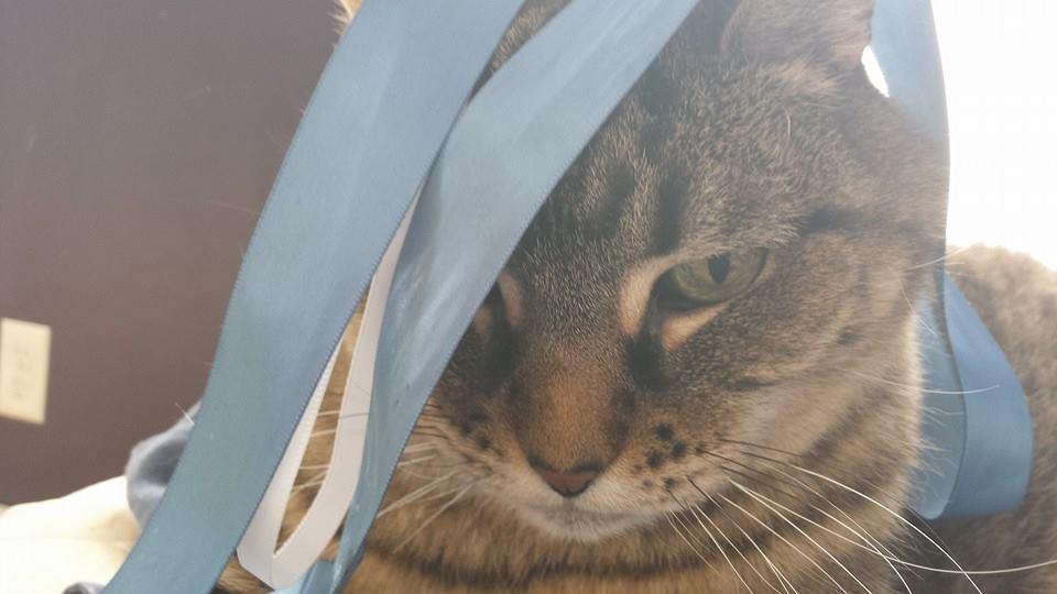 Rocky the cat kind of has a ribbon on his head, and is unhappy about it.