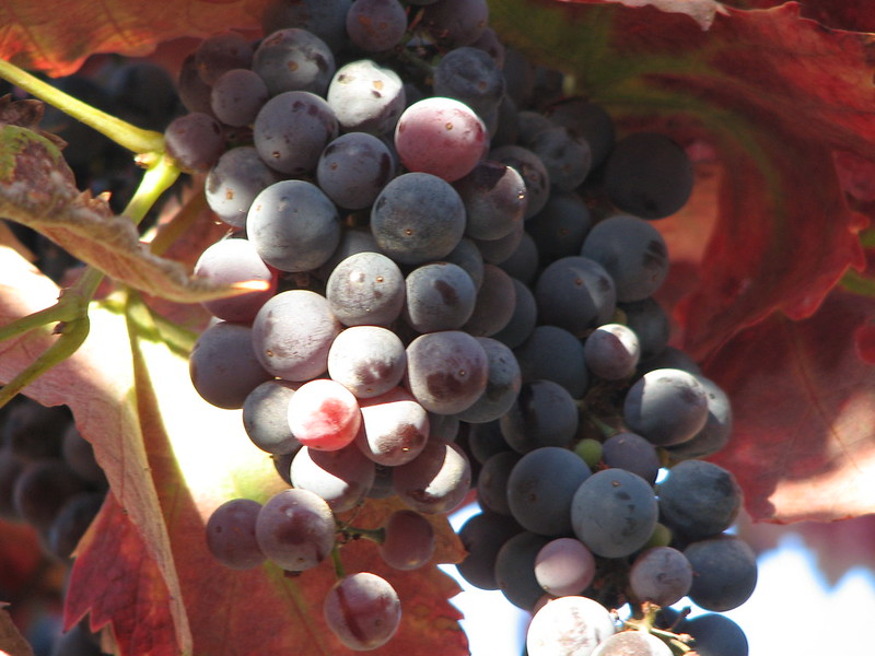 Sun shines on some red grapes. (Photo by jnet via Flickr/Creative Commons https://flic.kr/p/6FYEp)