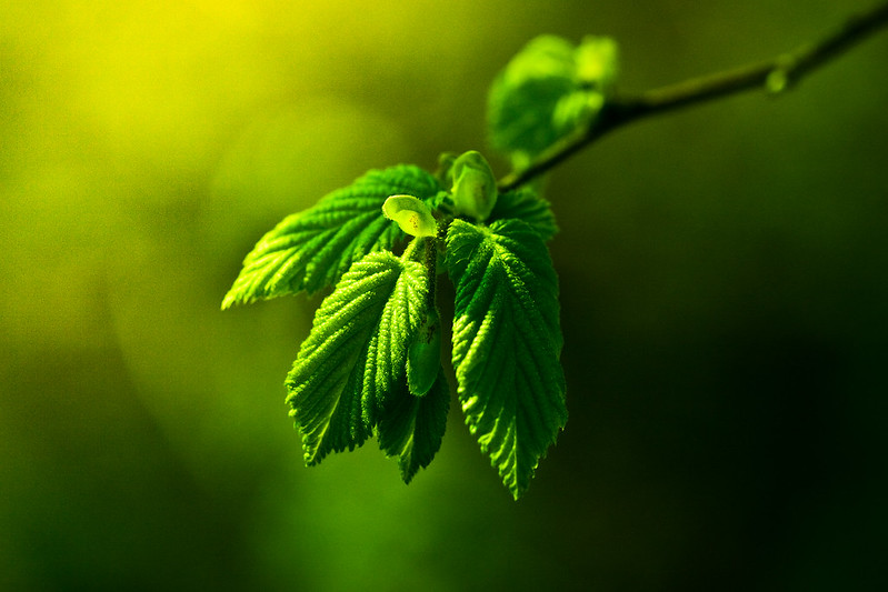 Bright green leaves in sunlight (Photo by Andreas Levers via Flickr/Creative Commons https://flic.kr/p/6e1f2W)