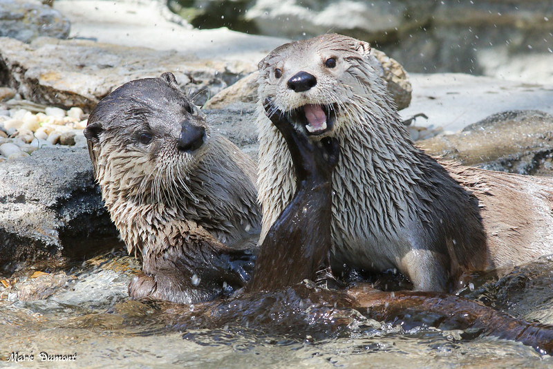 Otters being adorable (photo by Mark Dumont via Flickr/Creative Commons https://flic.kr/p/H27wCe)