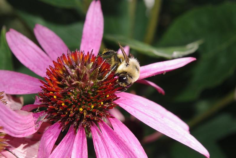 Bee on a purple coneflower. (Photo by Blair Gannon via Flickr/Creative Commons https://flic.kr/p/cU8gbA)
