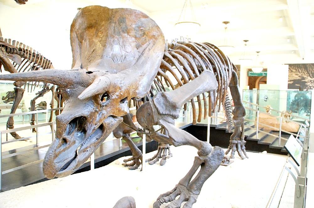 Triceratops skeleton on museum display