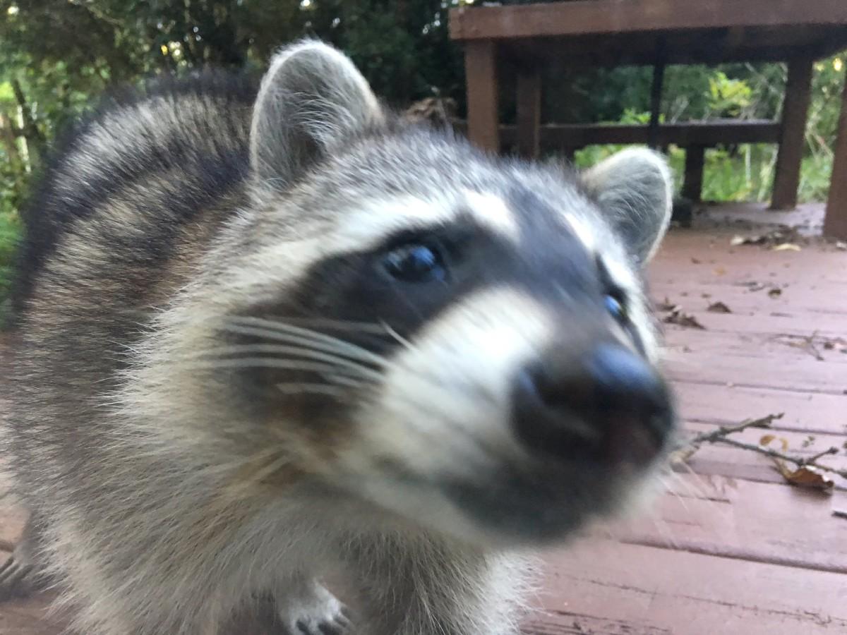 Raccoon in the backyard