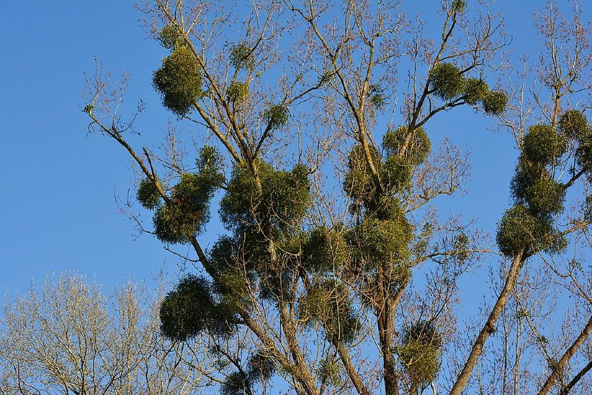 European Mistletoe (green bushes) growing on top of trees - by congerdesign via Wikicommons/CC