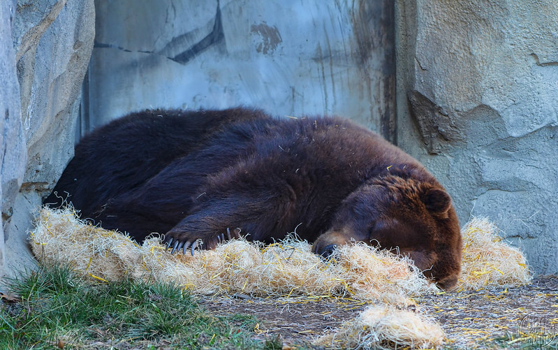 Sleeping bear (photo by Chad Horwedel via Flickr/CC)