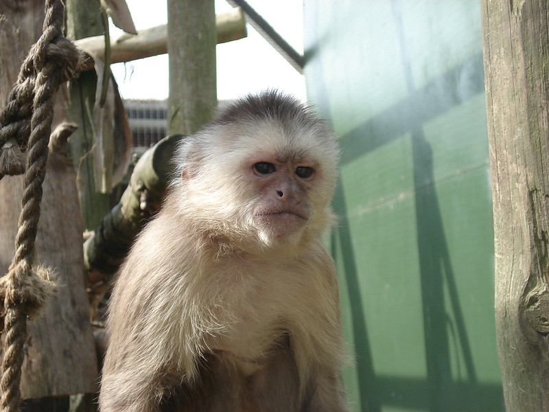 Capuchin monkey (photo by Marion O'Sullivan via Flickr/CC)