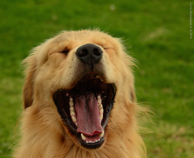 Dog with its mouth wide open, making it look like it's laughing. (Photo by Carlos Bustamante Restrepo via Flickr/Creative Commons https://flic.kr/p/nErfZa)