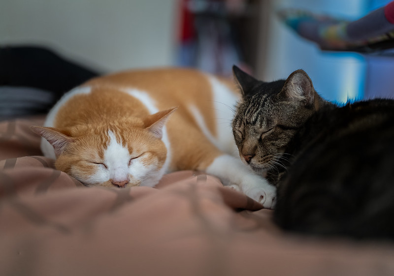 Two very sleepy cats (Photo by Kitty Mao via Flickr/Creative Commons https://flic.kr/p/2jfMPwy)