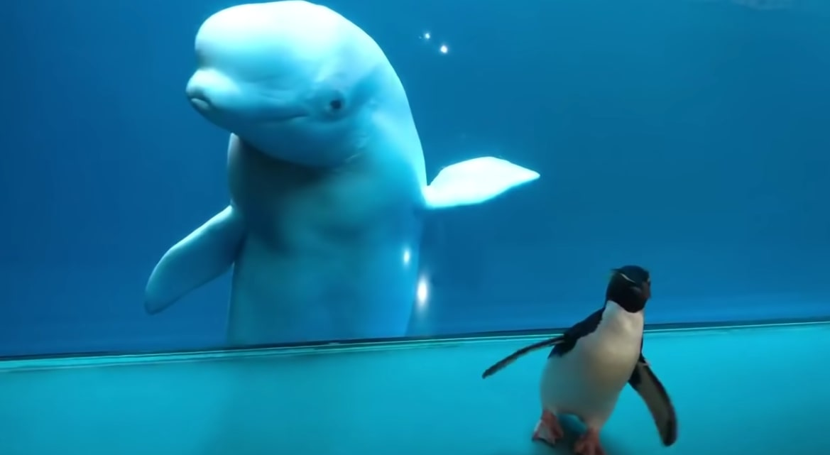 A penguin visits the dolphins at the Shedd Aquarium! (Screenshot from YouTube video)