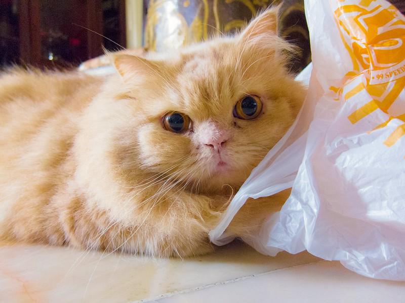 A fluffy orange cat with a plastic bag. (Photo by Stratman via Flickr/Creative Commons https://flic.kr/p/qqdZef)
