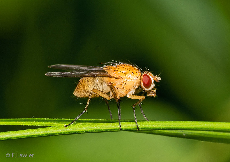 A fruit fly on something green. (Photo by Frank Lawler via Flickr/Creative Commons https://flic.kr/p/2m7uruR)