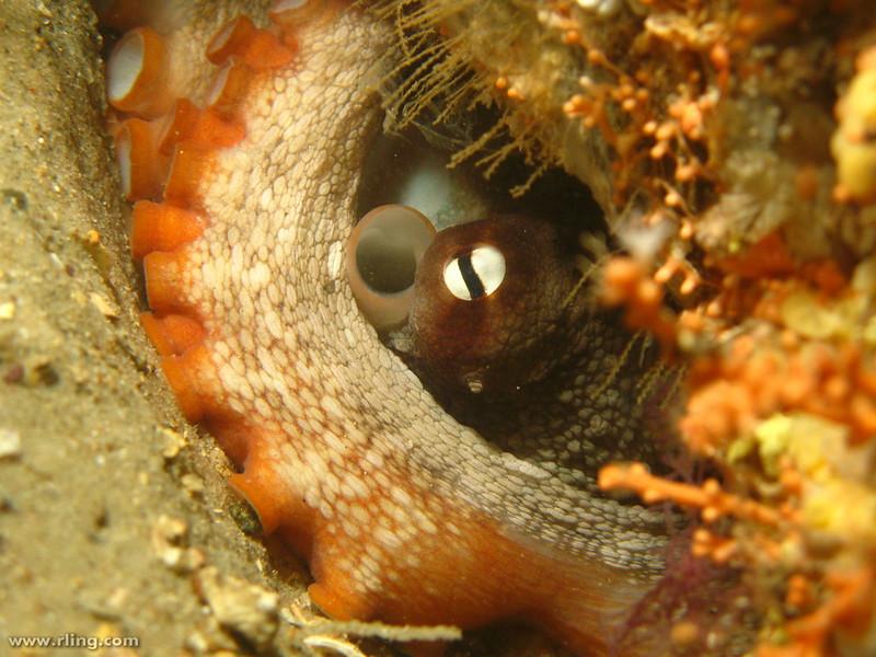 Octopus tetricus. (Photo by Richard Ling via Flickr/Creative Commons https://flic.kr/p/8LPC2u)