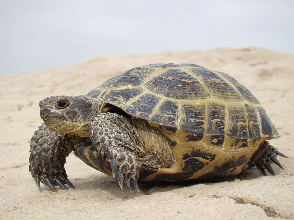 A Russian tortoise in Kazakhstan (Photo by Yuriy75, CC BY-SA 3.0 , via Wikimedia Commons)