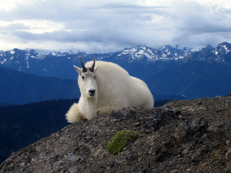 A mountain goat at Olympic National Park. (Photo by Sean Coffelt via Flickr/Creative Commons https://flic.kr/p/38Kpsh)